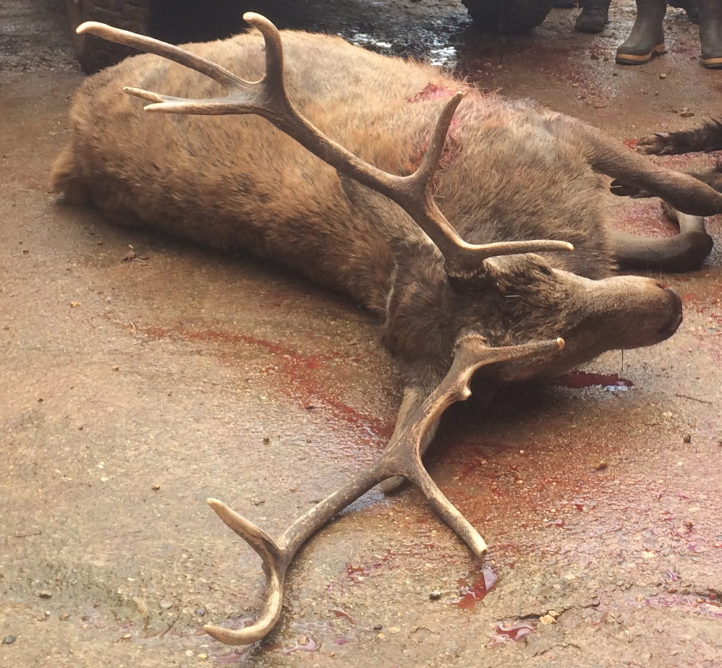 Les écolos suppriment 1800 cerfs par abattage